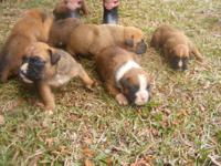Description i have full blooded boxer puppies! born on
