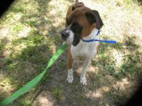 Purebred Boxer for sale. 3 Years old, Male. He is