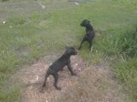 4yo CKC reg flashy brindle boxer female. Intact $150