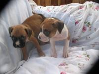 Purebred Boxer pups for sale. Two females, 8 weeks old,