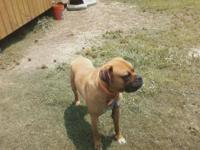 Boxer - Reagan - Medium - Adult - Male - Dog Reagan