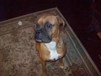 Intact (proven) male boxer to approved home. Great dog