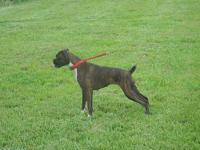 AKC Reverse Brindle female European lined exceptional