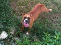 Boxer - Rocko - Medium - Adult - Male - Dog Not ready
