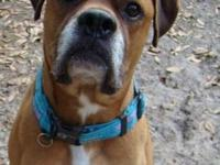 Boxer - Romeo - Large - Adult - Male - Dog ROMEO is a 4