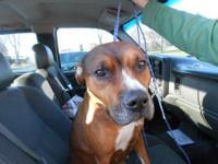 Boxer - Roxy - Medium - Adult - Female - Dog The $98.00