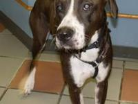 Boxer - Sadie - Medium - Adult - Female - Dog Hello! My