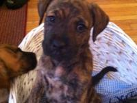 Boxer/Shephard puppies. 3 brindle females 2 brindle