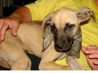Boxer - Shiner - Medium - Baby - Male - Dog Shiner is