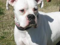 Boxer - Stanley - Medium - Adult - Male - Dog AVAILABLE