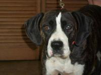 Boxer - Sue Bee - Large - Young - Female - Dog Sue Bee