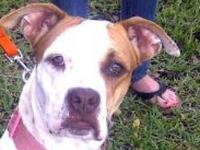 Boxer - Sugar Rae - Medium - Young - Female - Dog Sugar