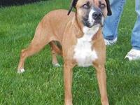 Boxer - Suzie - Medium - Adult - Female - Dog Suzie is
