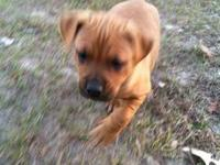 Boxer - The Golden Glove Puppies-boxer Mixes - Large -