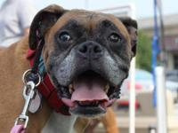 Boxer - Tiki - Medium - Adult - Female - Dog Tiki is