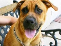 Boxer - Toby The Beautiful Boxer - Large - Young - Male
