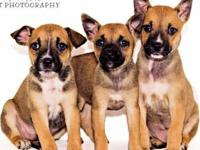 Boxer - Torry - Medium - Baby - Female - Dog
