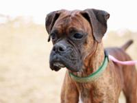 Boxer - Tory -pending~ - Medium - Young - Female - Dog