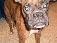 Boxer - Tory - Medium - Young - Female - Dog Tory is