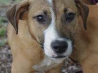 Boxer - Tulip - Medium - Young - Female - Dog