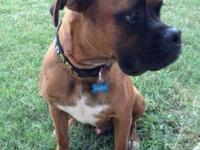 Boxer - Yolo - Large - Young - Male - Dog Yolo is a