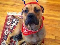 Boxer - Zee--sponsored! - Large - Young - Female - Dog