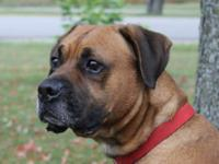 Boxer - Zeus - Large - Adult - Male - Dog My name is