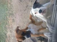 I have a male Boxer 2 years old that is looking for a