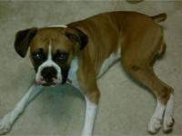 Boxer - Ace - Medium - Young - Male - Dog