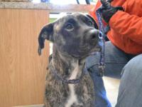 Boxer - Armani - Large - Adult - Female - Dog Armani is