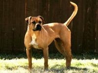 Boxer - Arrie - Medium - Young - Female - Dog Curious,