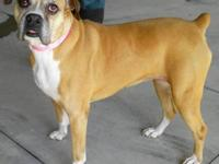 Boxer - Auntie Fiona - Large - Senior - Female - Dog