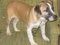 Boxer - Buck - Large - Young - Male - Dog Buck is a 10