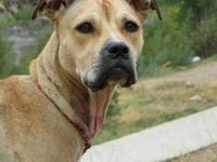 Boxer - Candy - Medium - Young - Female - Dog Her