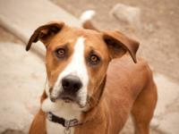 Boxer - Dax - Large - Adult - Male - Dog Dax is a