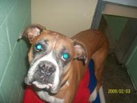 Boxer - Diva-courtesy - Large - Senior - Female - Dog