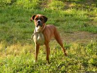Dixie is a 3 yrs old unregistered Boxer. She is a