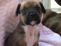 Boxer - Kassie - Large - Baby - Female - Dog Female UTD