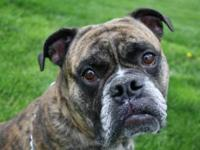 Boxer - Monty - Large - Adult - Male - Dog Monty is an