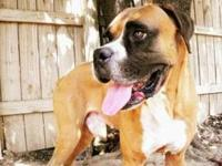 Boxer - Morgan - Medium - Adult - Male - Dog This guy