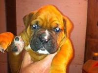 We have three boxer puppies left!! Two females and one