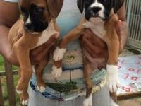 Boxer puppies boys and girls read and white make