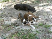 Pure bred boxer pups. The pups are really well cared