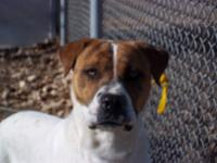 Boxer - Rocky - Large - Adult - Male - Dog Rocky is a