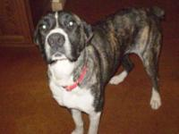 Boxer - Sam - Large - Young - Female - Dog Sam was