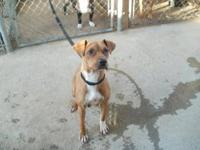 Boxer - Sheena - Large - Adult - Female - Dog Sheena is