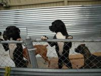 COOKIE BLACK & WHITE FEMALE DOB 1-6-2012 AKC PAPERS