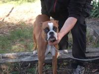 i have two female boxers for sale they are 11 mths old