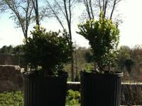 5yr old boxwoods green velvet and green mtn pic taken