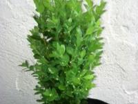 These are green mtn boxwoods in containers 3.5 years